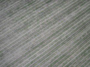 sorghum-1024x768